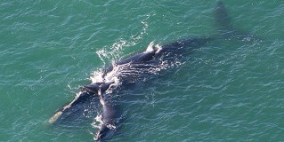 Endangered Right Whales