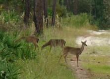 Deer at Faver-Dykes