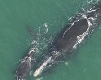 Learn About Right Whales in the Afternoon Lecture Series