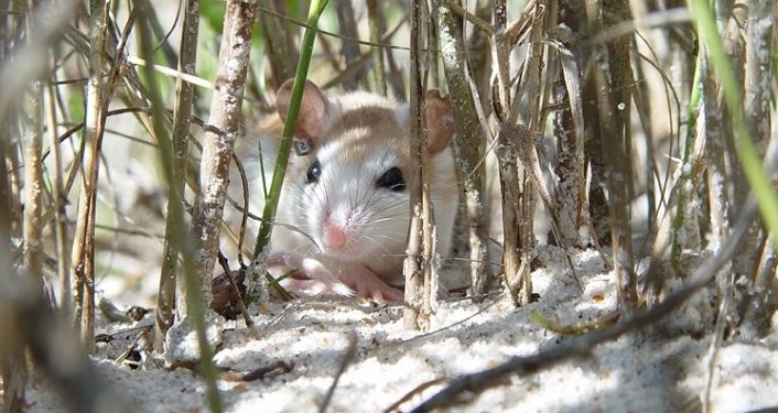 iamge of a beach mouse in the sea grass at Anastasia