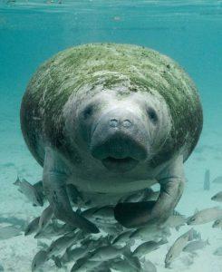 Manatee-beach-marine-life