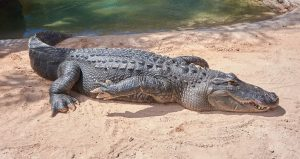 Learn about alligators during the Living with Snakes and Gators Presentation