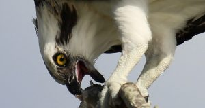 On Bird Walk at Fort Matanzas you might see an Osprey with a fish