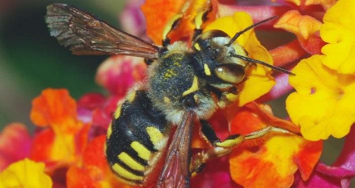 Honeybee drinking nectar from orangish-yellow flower.