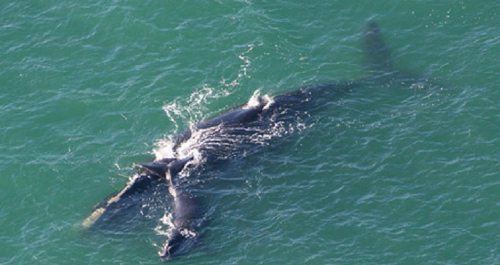 aerial image of North Atlantic Right Whale in the ocean