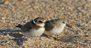 two little, brownish-tan and white birds in the sand