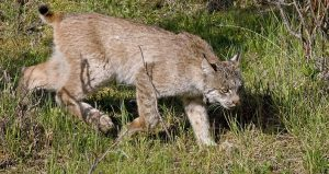 Learn about the bobcat during Living with Mammals