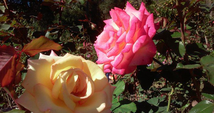 image of blooming yellow rose next to bright pink one at First Friday Garden Walk at Washington Oaks
