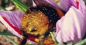 close-up image of bee in a flower for Afternoon Insight Lecture Series - Pollinators