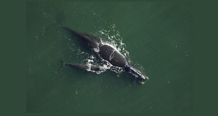 image of North American Right Whale and Calf in the off the FL coastline