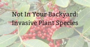 "text: Not In Your Backyard Invasive Plant Species"" superimposed over image of plant with red berries"