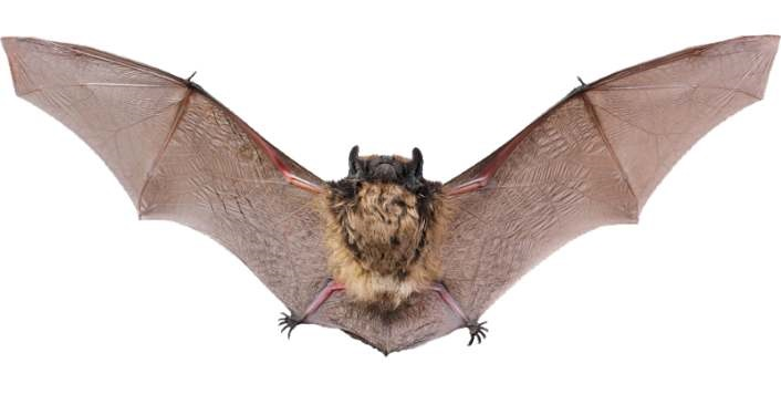 image of a bat with wings spread, looking directly into camera. Bat Talk and Walk