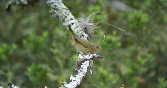 Image of a Common Yellowthroat on a tree limb seen on a Fort Mose Guided Bird Walk