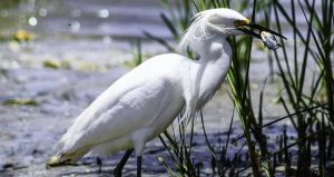 Snowy egret holding small fish in its' mouth