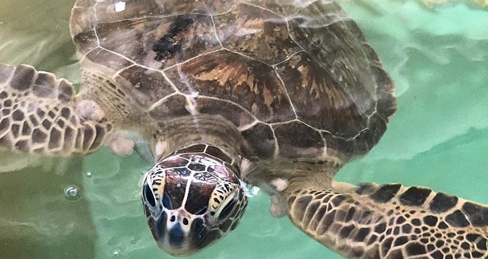 image of sea turtle taken at Sea Turtle Hospitial, can be seen on Sea Turtle Discovery Day