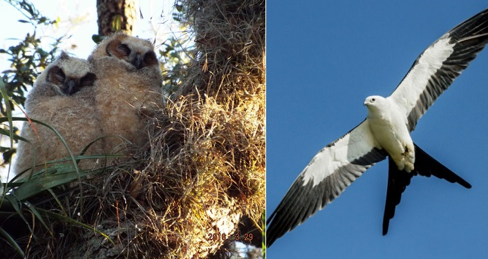 on left, image of sleeping young owls in nest; on right is kite in flight