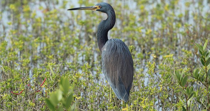 iamge of blue heron standing in marsh water seen during Seen During Bird Walk at Fort Matanzas