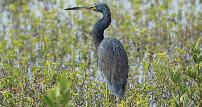 iamge of blue heron standing in marsh water seen during Seen During Bird Walk at Fort Matanzas