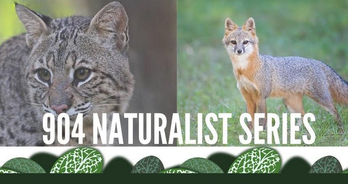 image on left is wild cat, image on right is coyote