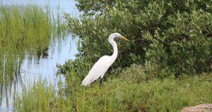 iamge of heron in the scrub seen during Discovery Marsh Walk