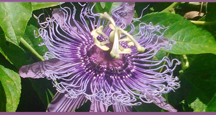 iamge of purple flower talked about during Florida-Friendly Landscaping™ - Right Plant, Right Place