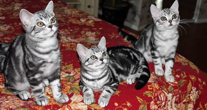image of 3 grey & black tiger-striped cats