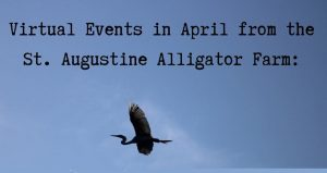 text in black, Alligator Farm April Virtual Events, with blue sky background and heron flying in sky